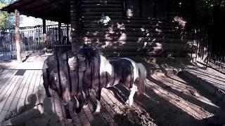 Две пони играются друг с другом   в зоопарке