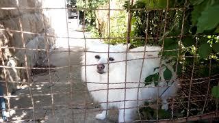 Pes biely.
