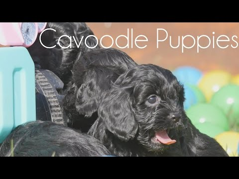 Black Cavoodle puppies on the lawn