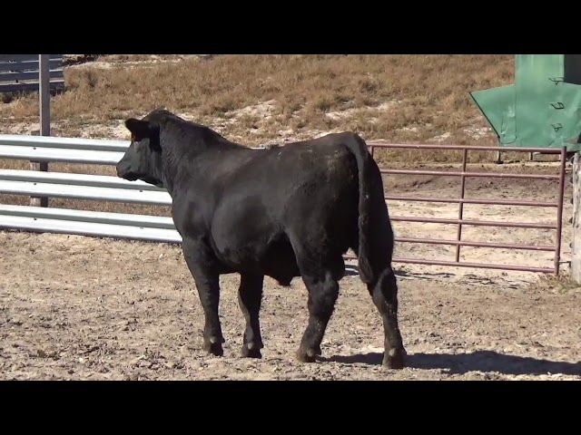 Connealy Angus Lot 100