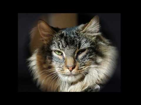 Norwegian Forest History,Personality,Health,Care
