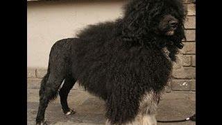 Португальская водяная собака (Portuguese Water Dog). Породы собак (Dog Breed)