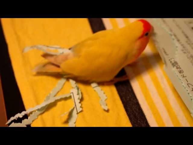 コザクラインコが紙をちぎって尾に挿す