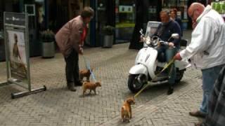 Shiba Inu Puppy Socialization Lessons