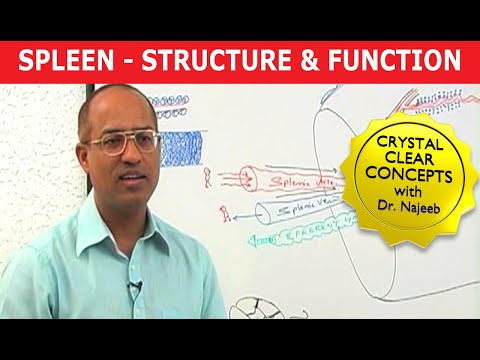 Spleen - Structure & Function