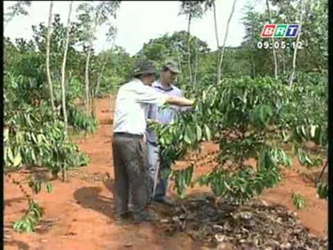 Biện pháp phòng trừ rệp sáp hại cà phê 3_4_2012.flv
