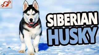 Siberian Husky Dog 101 – All About The Siberian Husky Dog Breed! (Review 2020)