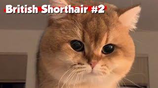 Golden British Shorthair #02 | Maple Cat | This is Cat