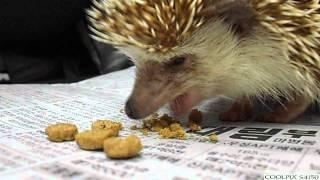 고슴도치의 식사모습 동영상