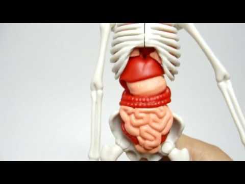 Juego El Cuerpo Humano - YouTube