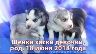 Предлагаем щенков хаски девочки, родились 18 июня 2018 года