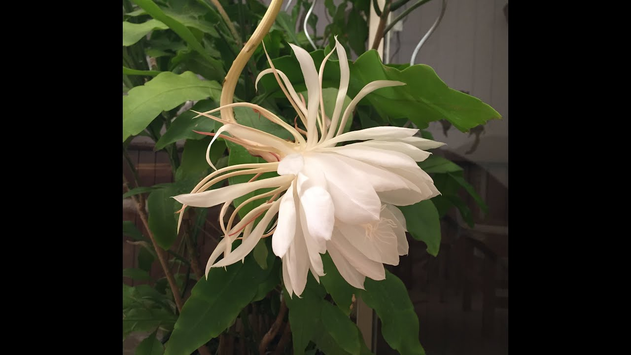 Epiphyllum Cactus Night Blooming Orchid Cactus Belle De Nuit Youtube