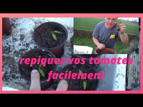 Que faire au jardin en mars repiquage des pieds de tomates - Que faire au jardin en mars ...