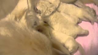 ホワイトスイスシェパードの仔犬生後10日目 父:ホワイトスイスシェパー...