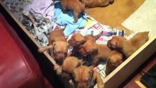 Douge De Bordeaux Puppys