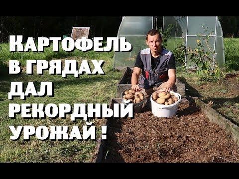 Картофель в грядах дал рекордный урожай!
