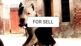 pitbull dogs 8months for sell in BATHINDA PUNJAB chip price owner detail in video and description ma