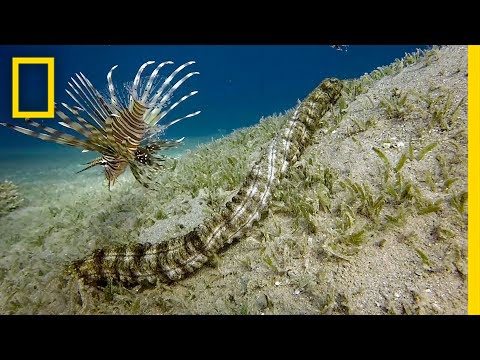 Thumbnail: This Bizarre Sea Creature is Snake-like and Has Tentacles | National Geographic