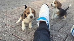 10-те най-глупави породи кучета