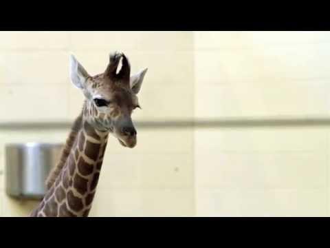 Baby Giraffe at The Henry Doorley Zoo