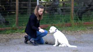Basic Puppy Obedience By Stofer's Labs