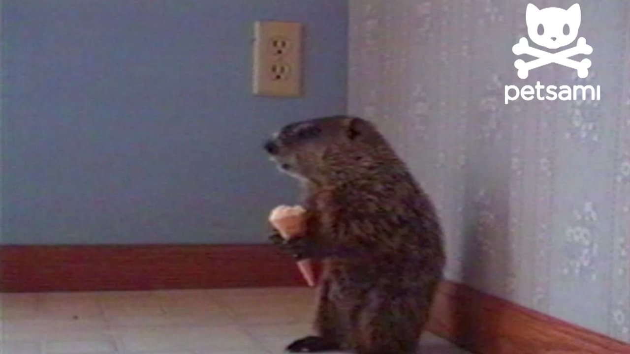 Uncategorized Woodchuck Video just a woodchuck eating an ice cream cone youtube
