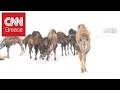 Ευτυχισμένες… καμήλες απολαμβάνουν το χιόνι