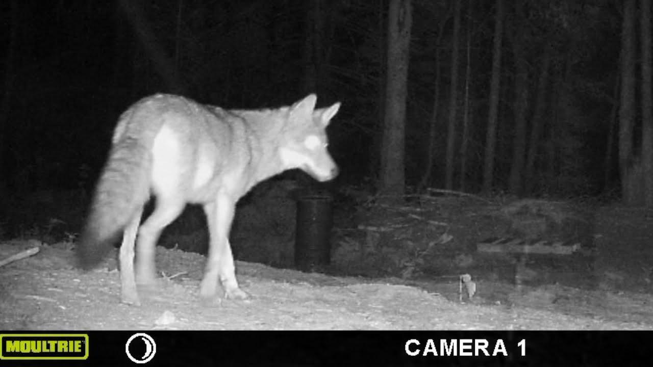 Coyotes investigating pig pen!