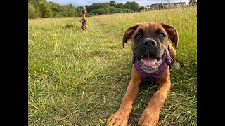 Poppy the Boxer Puppy - 2 Weeks Residential Dog Training