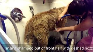 Groom on Akita using Sav ur Fur bathing deshed system