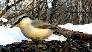 Как кричит Поползень и синицы Гаички - голоса птиц