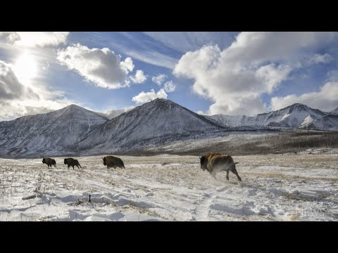 Bison return to Alberta national park after 2017 wildfires