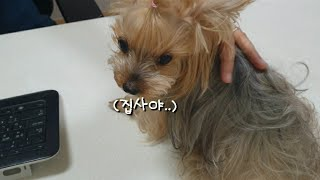 강아지 심장사상충 | 8살 콩강아지 병원행