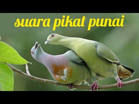 SUARA BURUNG PUNAI..#TERBUKTI AMPUH BUAT MEMANGGIL SAAT BERBURU