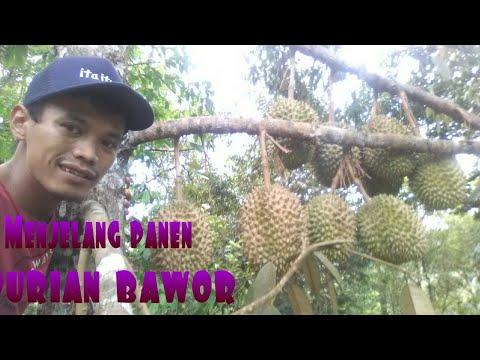 DURIAN BAWOR ORI INDONESIA
