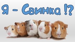 ♥ Морские свинки ♥ : почему свинки и почему морские?