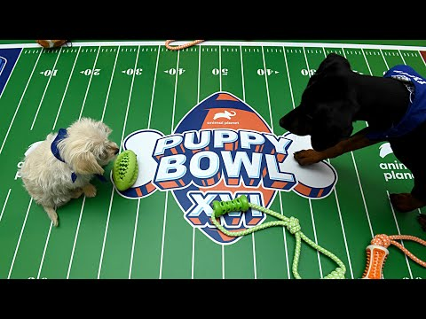 Puppy Bowl 2020: Preview The 16th Annual Puppy Bowl On Animal Planet