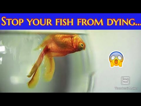How To Save Dying Fish, How To Cure Injured Or Sick Fish, Quick Tips, Goldfish  Or Any Other Fishes.