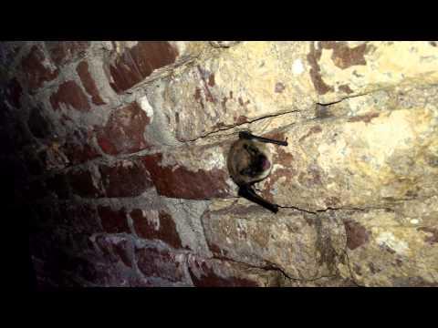 Baardvleermuis, Whiskered Bat (Myotis mystacinus)