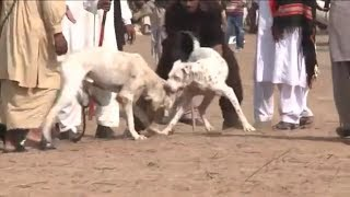 Dog Fights are ILLEGAL in PAKISTAN. BUT...MUST WATCH!