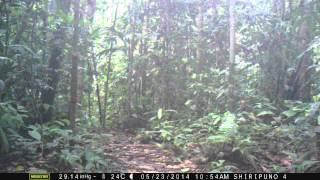 Yasuni Trap Camera: Peccary on Kalvin Klein Obsession