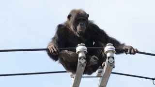 14日午後1時20分ごろ、仙台市太白区の八木山動物公園で、チンパン...