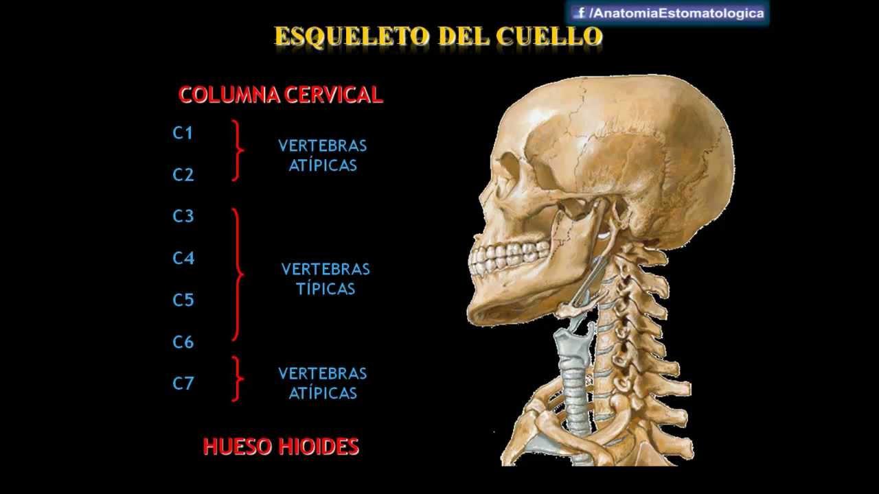 Drs. Abad & Matos - Anatomía del Cuello - YouTube