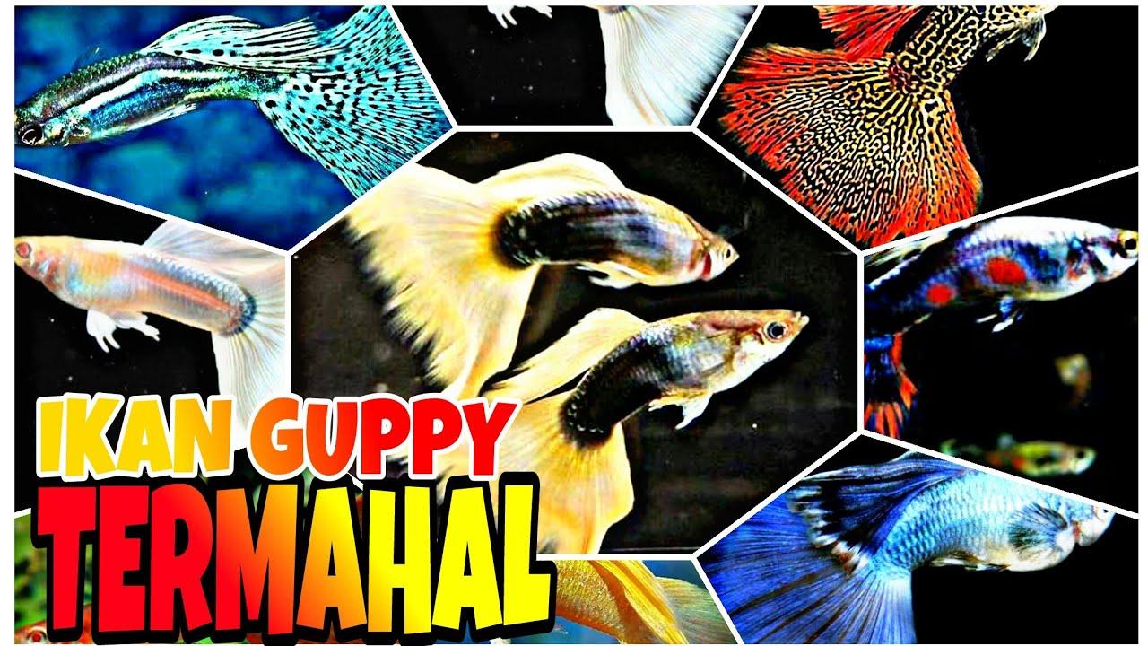 Jenis Ikan Guppy Termahal Di Dunia - YouTube