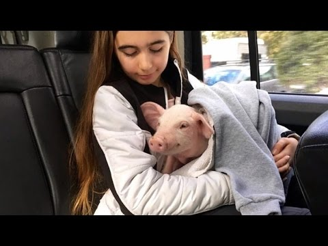 Thumbnail: Pig Rescued from Road During Snowstorm Now Acts Just Like A Puppy