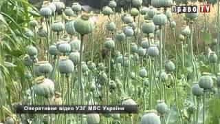 На огороде 70-летней женщины милиция обнаружила посевы снотворного мака. ОПЕРАТИВНОЕ ВИДЕО
