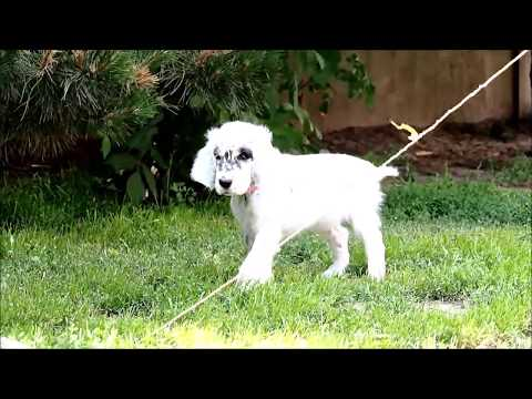 Somebody To Love Shadow Dog - english setter puppy
