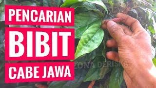 CARA MENCARI BIBIT CABE JAMU - CABE JAWA