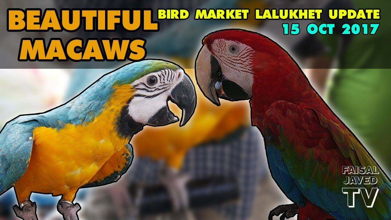 Exotic Birds For Sale >> Beautiful Macaws And Other Exotic Birds For Sale Lalukhet Birds