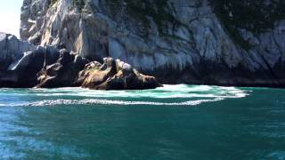 Steller Sea Lions - Kenai Fjords
